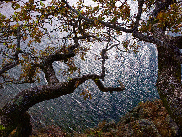 Oak on Water